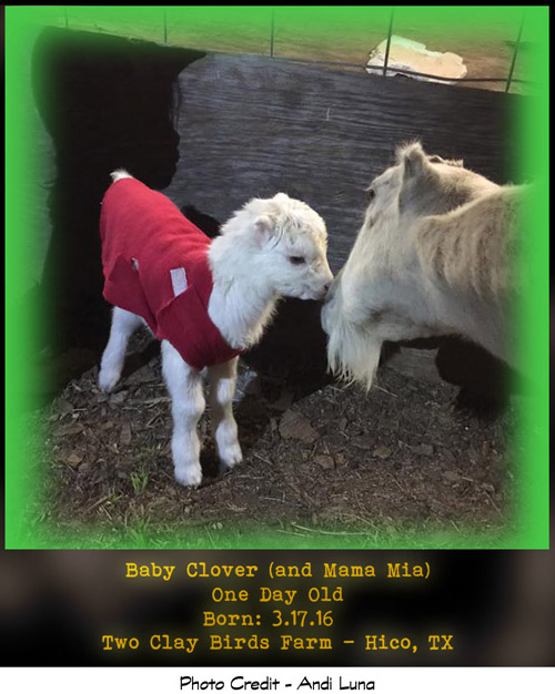 Baby Clover The Goat