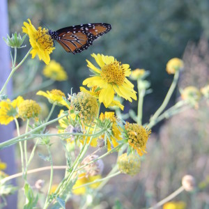 Monarchs: Royalty on the Farm